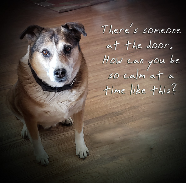 Picture of a dog with the words. There's someone at the door. How can you be some calm at a time like this?